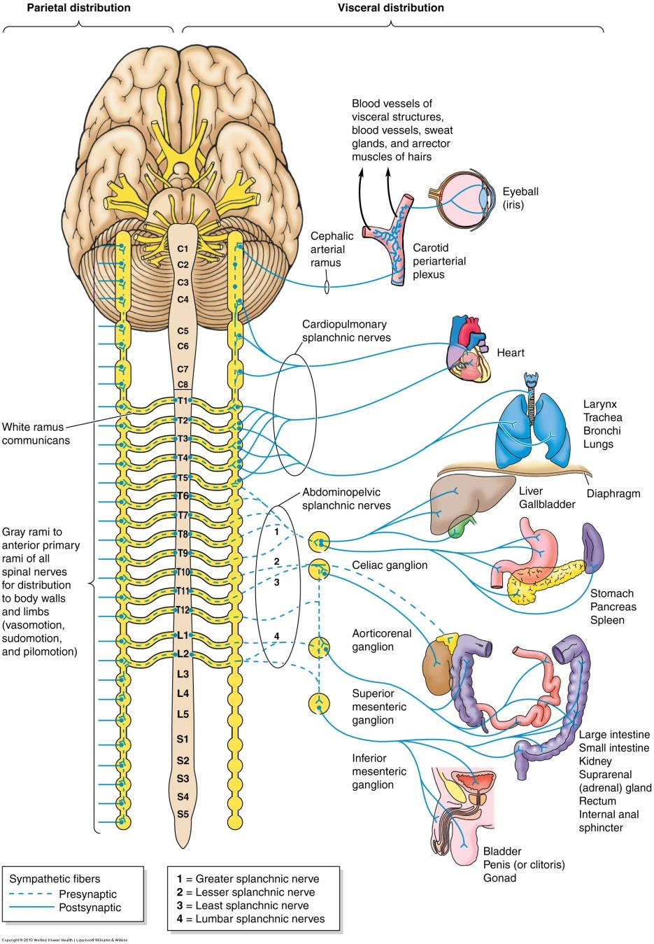 Sympathetic Nerves Some axons of the postganglionic neurons leave the trunk by