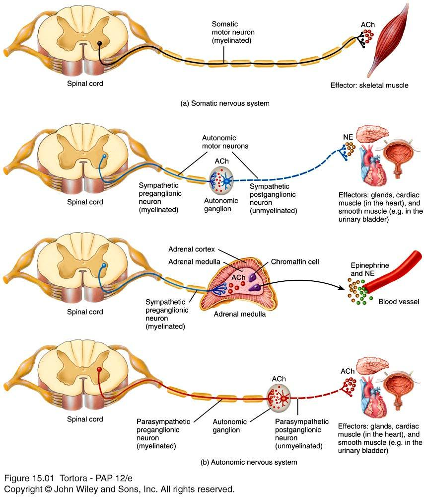 Autonomic versus Somatic NS Notice that the ANS pathway is a