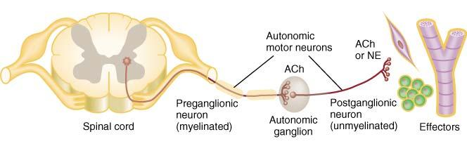 Basic Anatomy of Motor ANS Preganglionic neuron cell body in brain or spinal cord axon is myelinated type B fiber that extends to autonomic ganglion