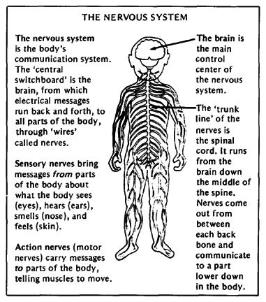 Nervous System I. Nervous system Functions A. Detect Changes in the environment (stimuli) B.