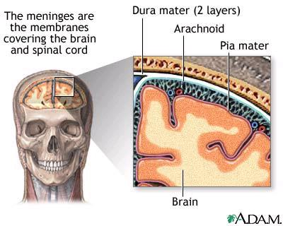 V. The Brain A. Has 3 coverings called meninges that extend down the spinal cord 1. Dura Mater - tough outer layer 2.