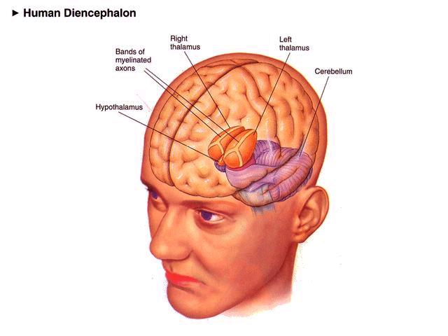 E. Diencephalon ( between brain ) - several structures including thalamus, hypothalamus, and pineal body 1. Thalamus a. Major relay station for sensory info. On the way to the cerebrum b.