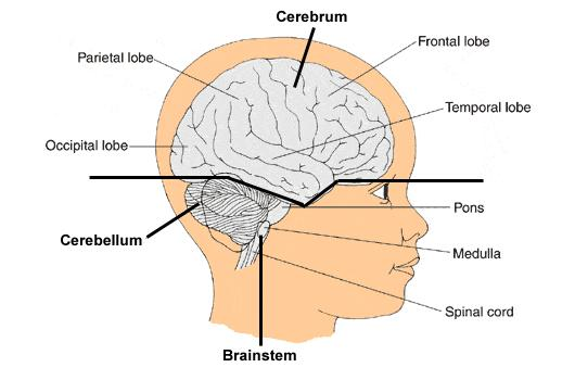 F. Cerebrum 1. Divided into several parts called lobes 2. 4 major lobes: a.
