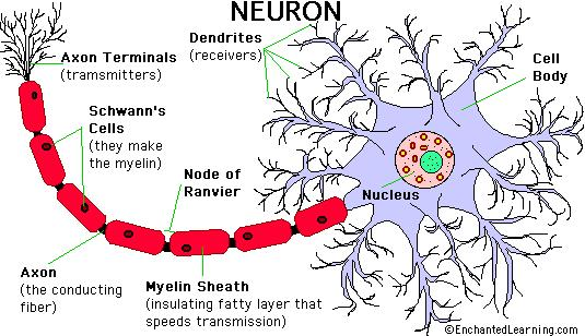 III. Cells of the nervous system A. 2 cell types 1. Neurons - cells that can send signals 2.