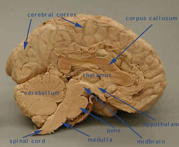Cerebrum - largest part of the brain, responsible for complex behaviour and intelligence.