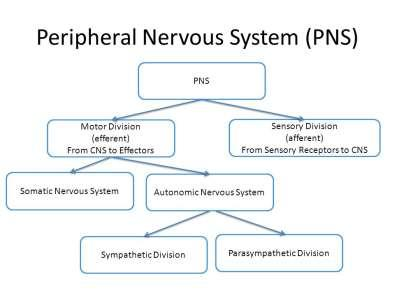 The Peripheral Nervous System (PNS) - Includes the nerves that lead in and out of the CNS -