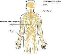 There are two major parts that comprise the nervous system: