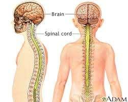 Central Nervous System The CNS is comprised of two main parts: 1. the brain 2.