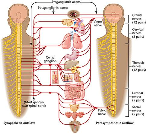 B) Spinal cord made of neurons and bundles of axons that pass impulses to and from the brain. It allows the brain to communicate with the Peripheral Nervous System.