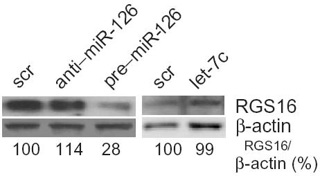B mir-126 induces CXCL12 expression by targeting