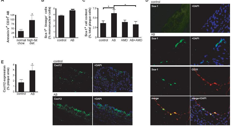 Endothelial AB increase in hyperlipidemic mice and induce luminal CXCL12