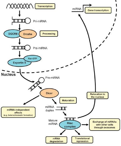 Biogenesis and function of micrornas
