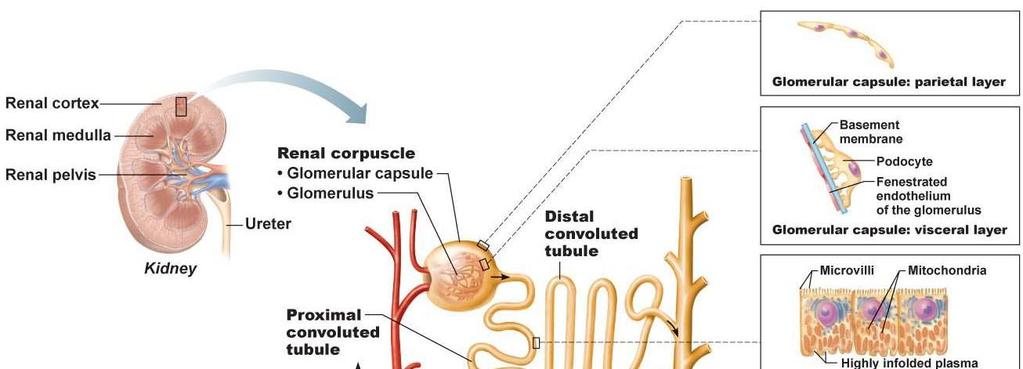 C. Blood and nerve supply: renal arteries deliver about 25% of total C.O. at any given time 1.