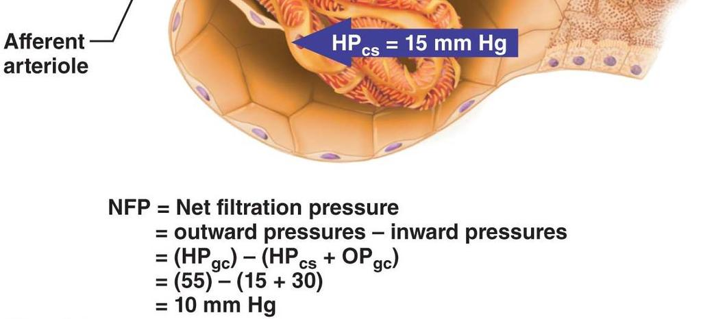 Glomerular filtration Passive, non-selective process Allows passage of all except proteins and blood cells