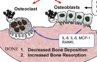 into functional osteoblasts) Inhibition of collagen synthesis Induction of apoptosis 2.