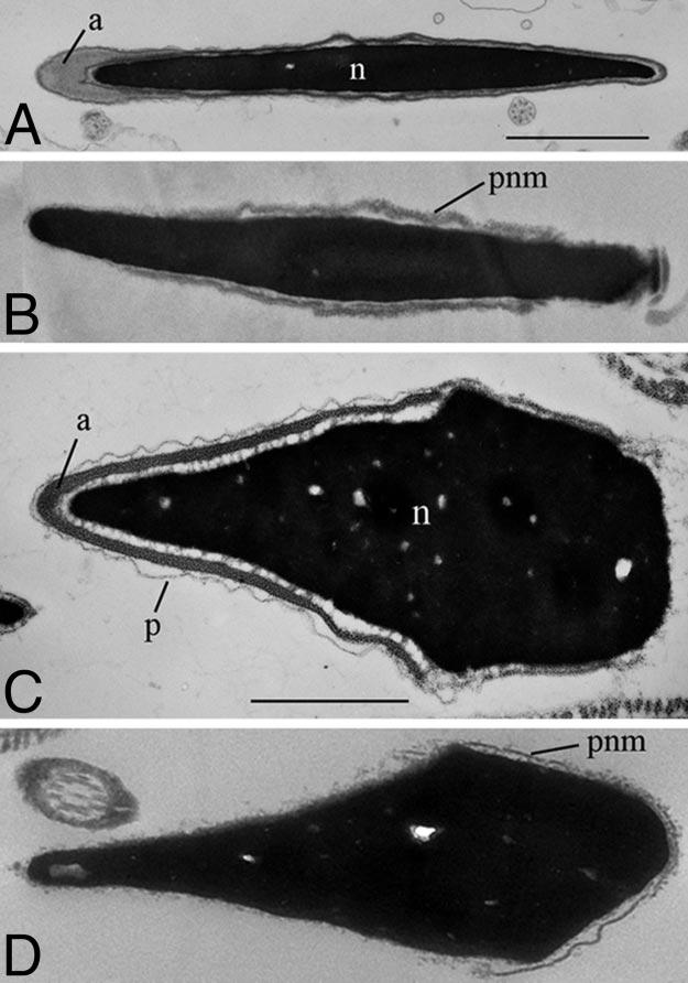 Fig. 2. Electron micrographs of the heads of mouse and human spermatozoa. Mouse spermatozoa before (A) and after (B) LL treatment. Human spermatozoa before (C) and after (D) LL treatment.