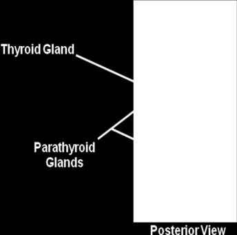 The parathyroid glands are typically located on the posterior surface of the thyroid gland. The release of parathyroid hormone decreases as blood calcium levels increase.