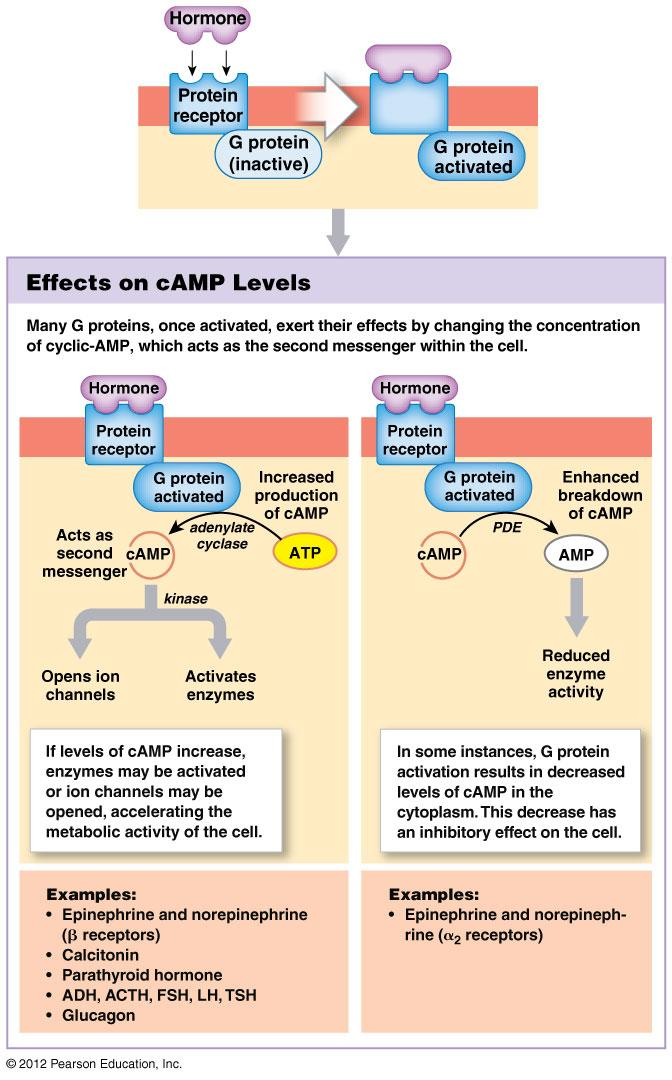 Mechanisms of Hormone Action: Plasma membrane acting hormones camp signaling pathway G Protein (binds GTP) coupled receptors is part of an:enzyme complex (adenylate cyclase) coupled to membrane