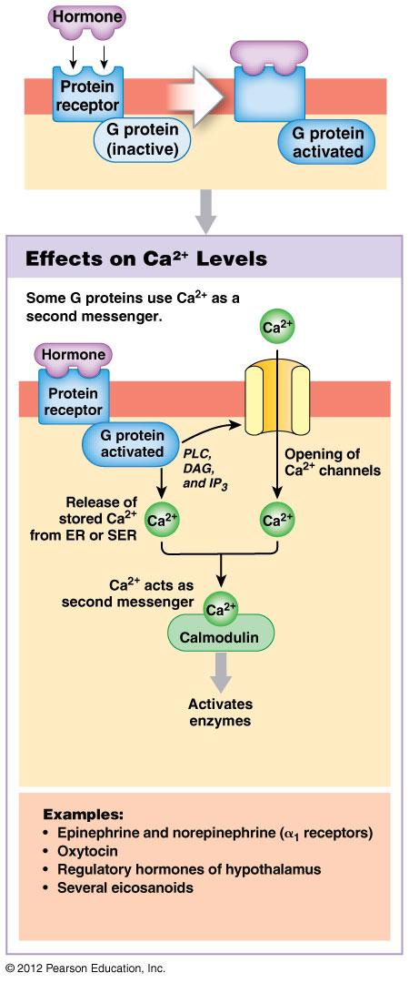 Mechanisms of Hormone Action: Plasma membrane acting hormones Inositol triphosphate (IP3) signaling pathway Activated G protein/hormone complex triggers G protein activates enzyme phospholipase C