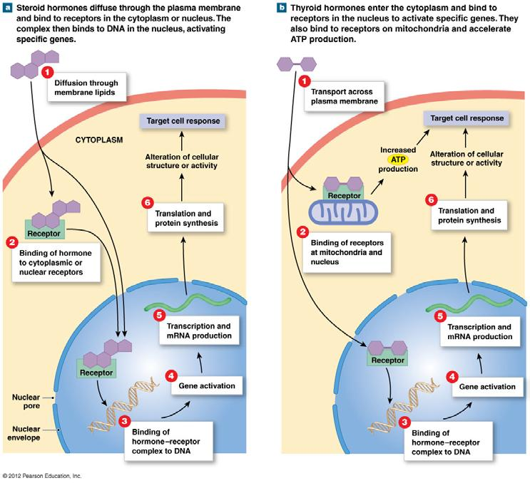 Mechanisms of Hormone Action: Nuclear acting hormones Hormones and Intracellular Receptors Alter rate of DNA