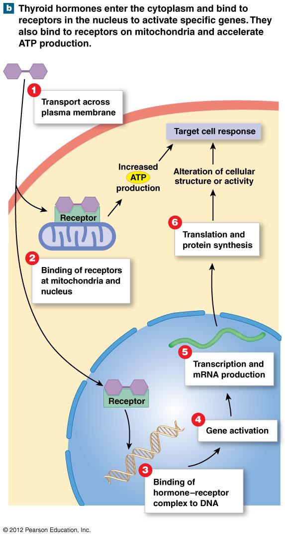 Mechanisms of Hormone Action: Nuclear acting hormones Hormones and Intracellular Receptors Directly affect metabolic activity and structure of