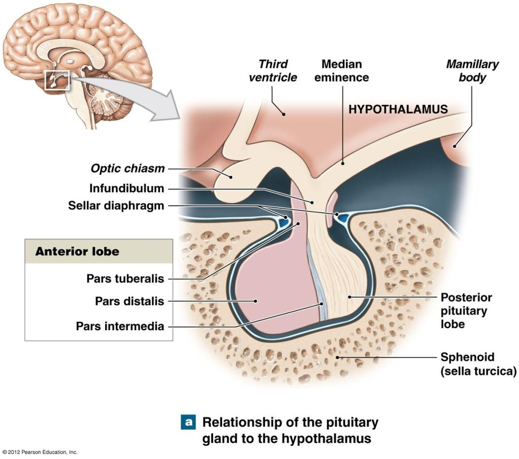 Anatomy of The Pituitary Gland Structurally the pituitary is divided into two lobes: Anterior lobe