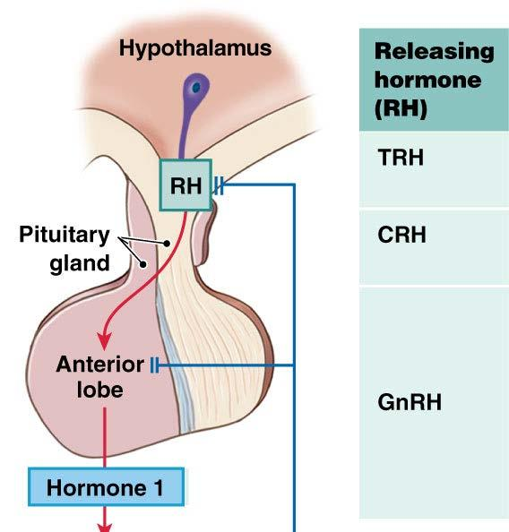 Anatomy of The Pituitary Gland: Anterior Pituitary Two Classes of Hypothalamic Regulatory