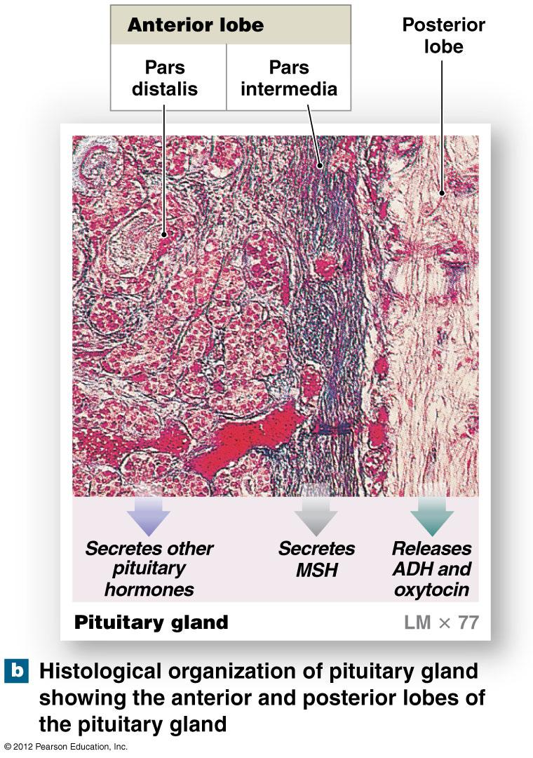 Anatomy of The Pituitary Gland: Anterior Pituitary Hormones of the anterior lobe turn on endocrine glands or support other organs -