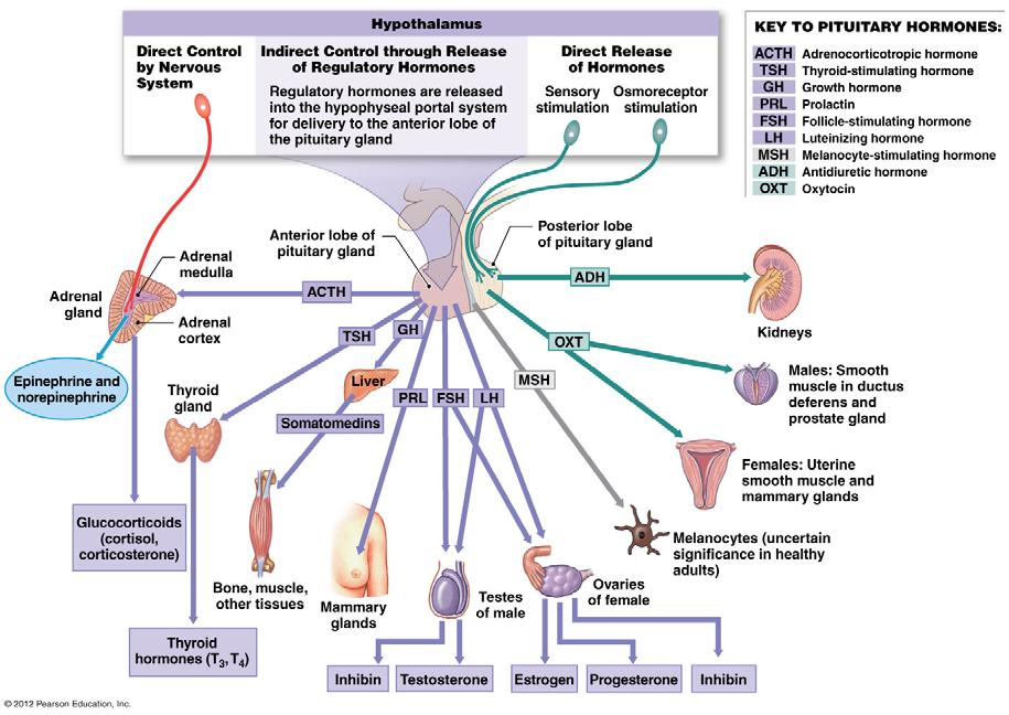Putting it all together Hypothalamic/Pituitary Hormones Collectively the nine hormones of the pituitary
