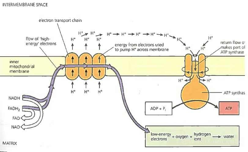 Electron Transfer Chain The final electron acceptor is oxygen