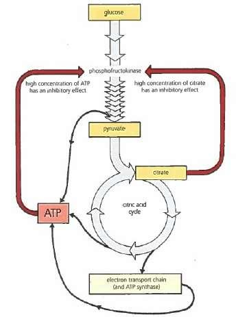If more ATP than the cell needs is produced the ATP inhibits phosphofructokinase slowing glycolysis High