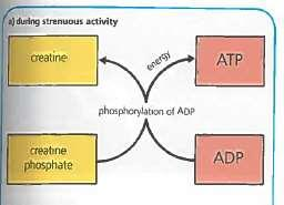 Creatine Phosphate Creatine phosphate acts as a high energy reserve available to muscle cells during strenuous exercise During