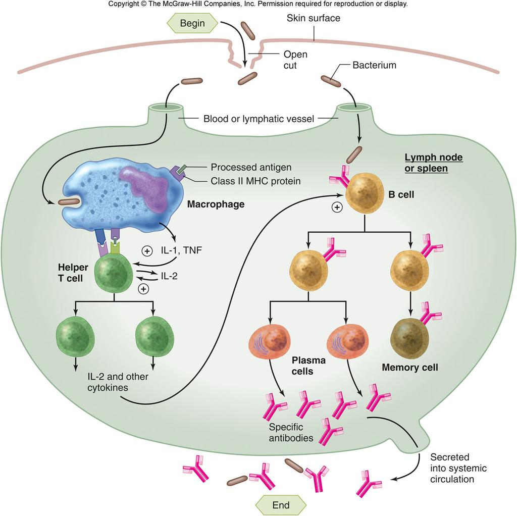 Lymphokines APC binding to the helper T cell triggers the APC to secrete large amounts of lymphokines 1.