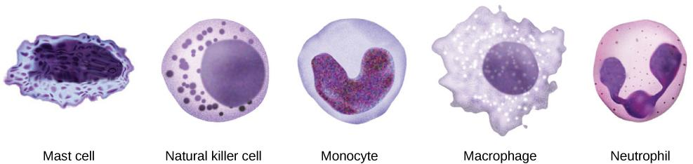 Cells involved in the innate immune response include mast cells, natural killer cells, and white blood cells, such as monocytes, macrophages and neutrophils.