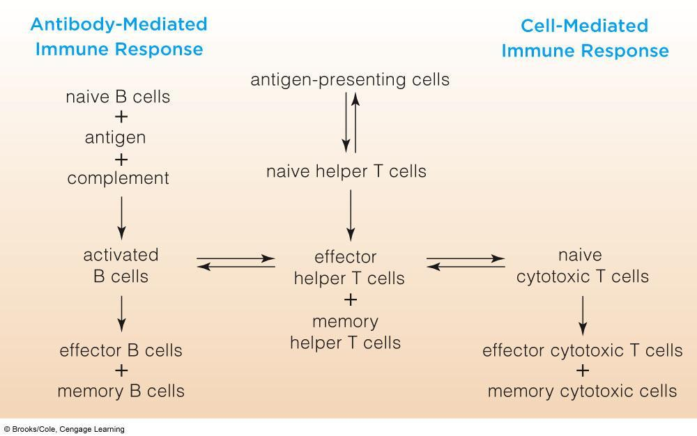 Interactions Between Antibody-Mediated and Cell-Mediated Responses Cells of the Immune System Phagocytes: Neutrophils Macrophages Dendritic cells Self Recognition Cells: NK Cells
