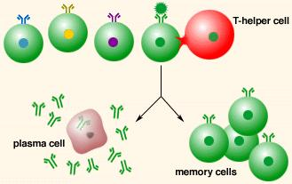 B cell clones may differentiate into B Plasma Cells * secrete antibodies into the blood, lymph, and interstitial fluid * these antibodies bind to the antigen (thereby coating the pathogen) * Humoral