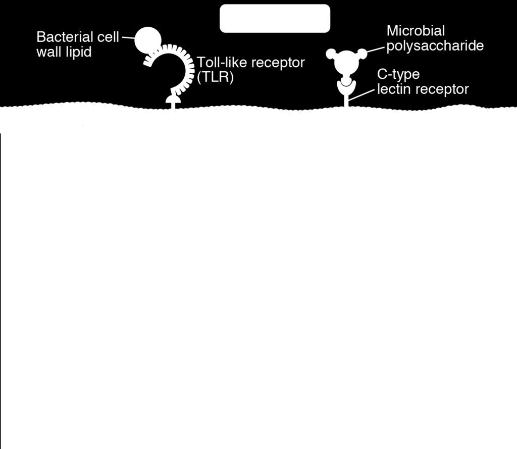 major classes of receptors: -TLRs: bacteria and viruses -CLRs (C- type lectin
