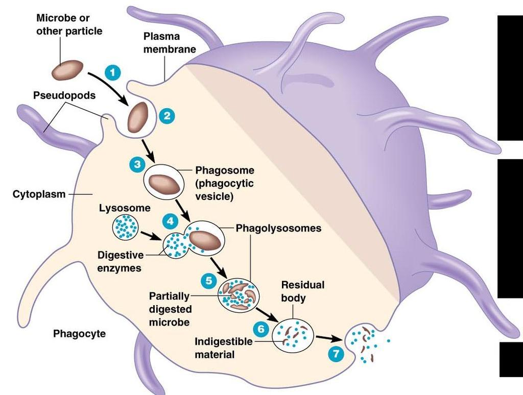 Phagocytosis Various Mechanisms of Microbial