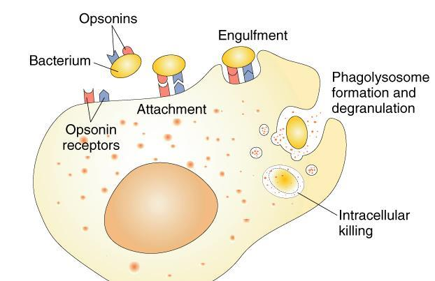 Opsonins (complement proteins or antibodies) coat bacteria and promote attachment of