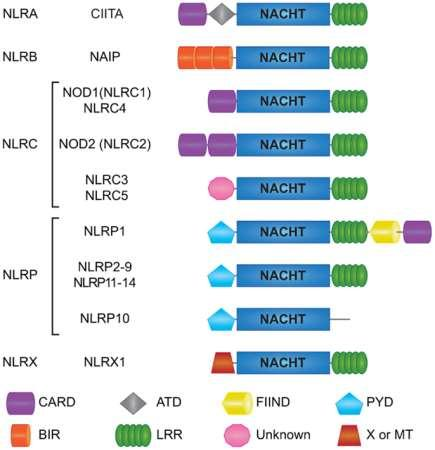 NLRP family (inflammasomes) NLRPs are subfamily of NOD-like receptors NLRPs respond to cytosolic PAMPs and DAMPs, or changes in the cell indicating the presence of infection or damage by