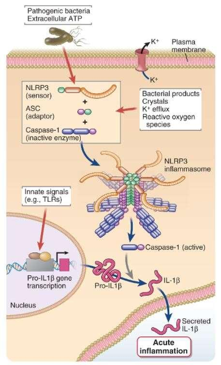 NLRP3 inflammasome NLRP3 senses PAMPs and DAMPs Uric acid crystals Silica Aluminum hydroxide crystals Bacterial