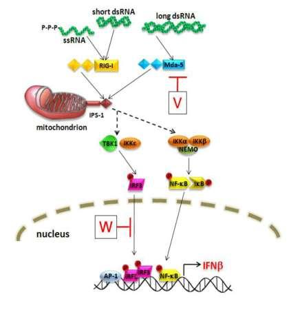 RIG-Like Receptors RIG-like receptors (RLRs) are cytosolic sensors of viral RNA that respond to viral nucleic acid by inducing the production of the antiviral type I interferons Plasma