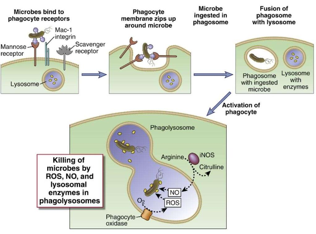 Phagocytosis and intracellular