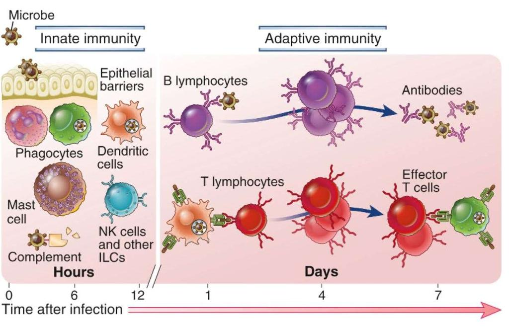 Innate and adaptive immunity The mechanisms of innate immunity provide the initial defense