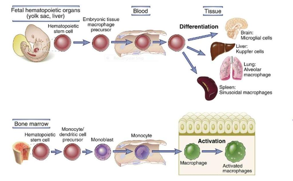 Mononuclear phagocyte system The mononuclear phagocyte system includes circulating cells