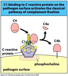 fungi) apoptotic cells functions - Opsonin -