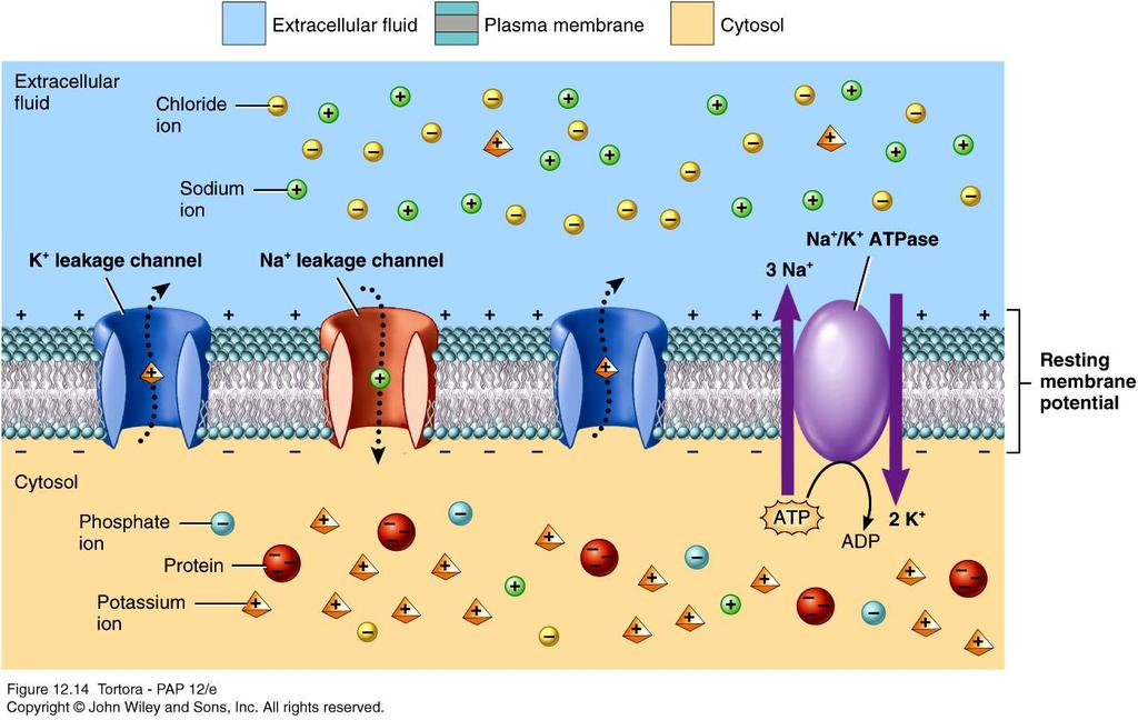 Factors that contribute to resting membrane