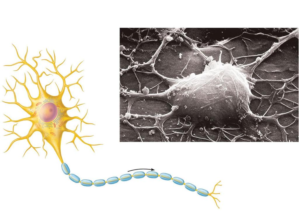 Dendrites (receptive regions) Cell body (biosynthetic center and receptive region) Neuron cell body Nucleolus Nucleus Nissl bodies Axon hillock (b) Axon (impulse generating and conducting