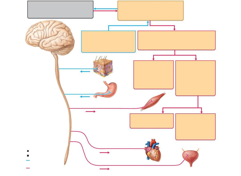 Central nervous system (CNS) Brain and spinal cord Integrative and control centers Peripheral nervous system (PNS) Cranial nerves and spinal nerves Communication lines between the CNS and the rest of