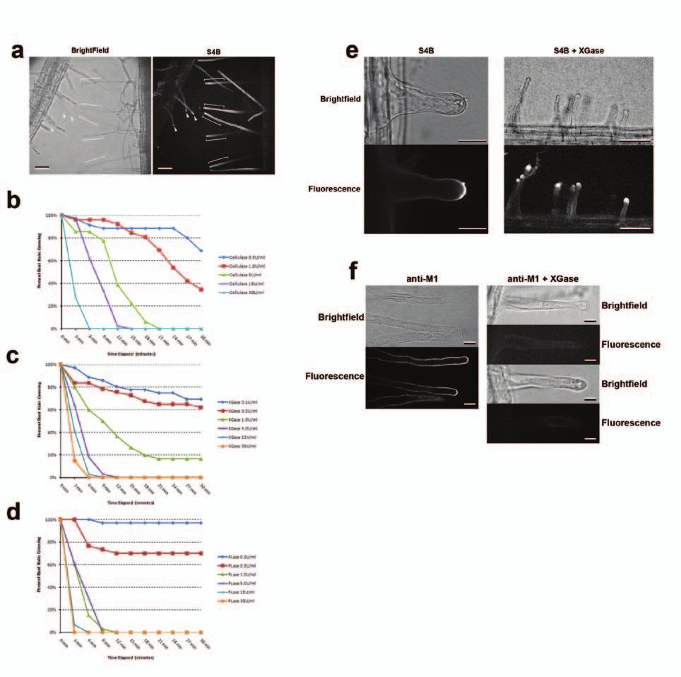 DOI: 10.1038/ncb2294 Figure S1 Localization and function of cell wall polysaccharides in root hair cells. (a) Spinning-disk confocal sections of seven day-old A. thaliana seedlings stained with 0.